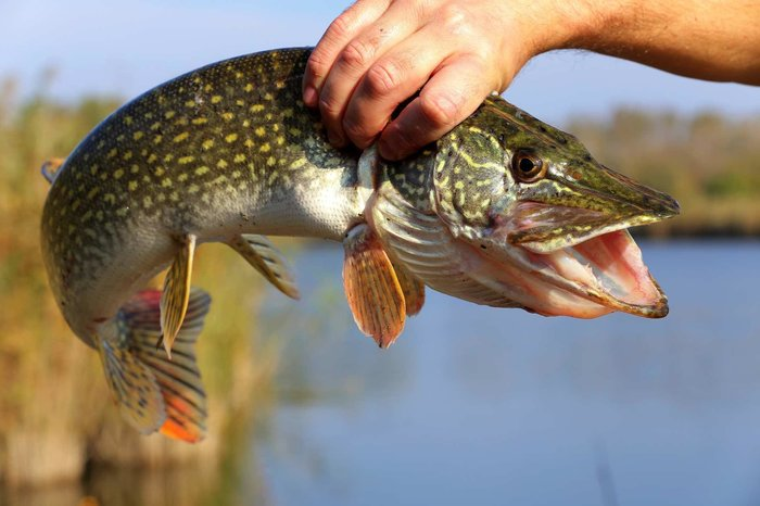Поймана крупная рыба
